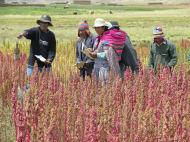La quinoa. Exploitation des ressources en Bolivie.