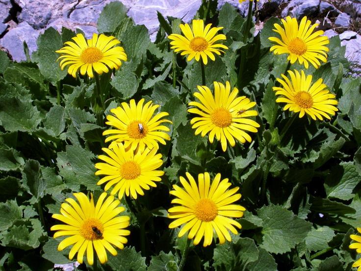 Arnica-plante-santecool