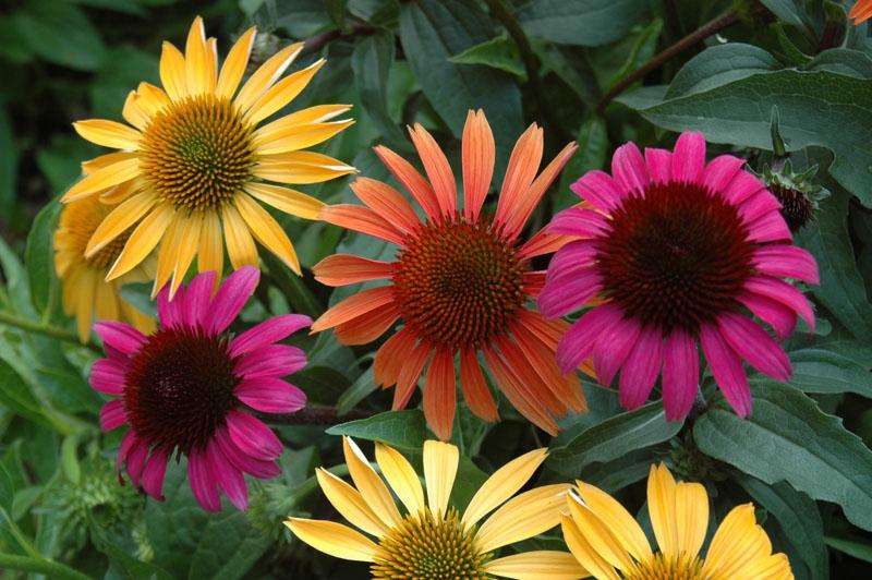Echinacea-plante-santecool
