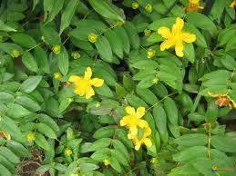 MILLEPERTUIS-plante-santecool