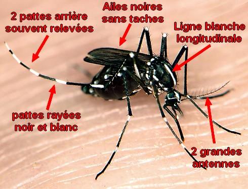 moustique-tigre-santecool