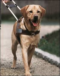 Le-chien-guide-d-aveugle-face-à-ses-droits-bafoués-santecool