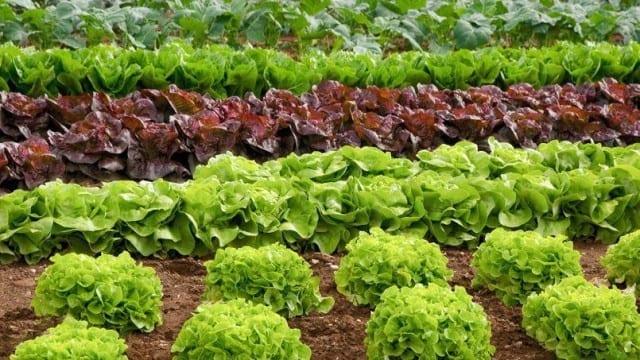Plus-d-une-salade-sur-10-contient-des-pesticides-interdits-santecool