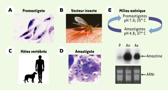 Leishmania : un parasite qui s'adapte à son environnement par amplification chromosomique