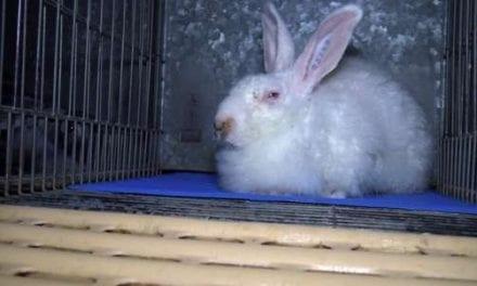Fourrure ou la maltraitance des lapins