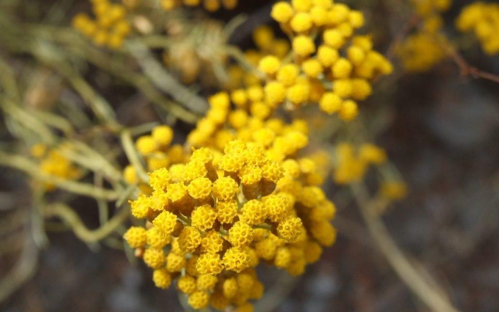 Les plantes aromatiques et médicinales de Corse au cœur d'un programme de recherche