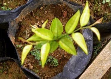 L'extrait naturel de Pao Pereira, un traitement pour le cancer du pancréas