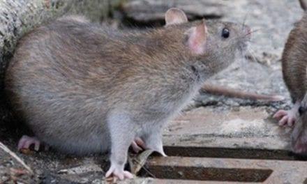 Quelles maladies peuvent transmettent les rats ?