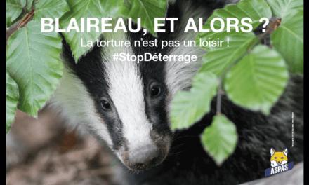 Stop à la torture des blaireaux