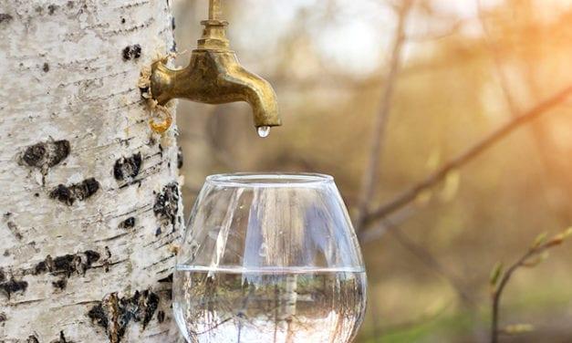 L'eau de bouleau, le nouvel élixir beauté