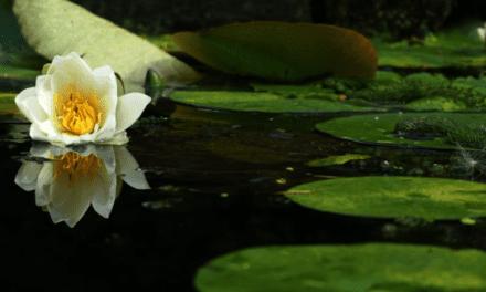 Les grenouilles pourraient nous sauver des produits chimiques