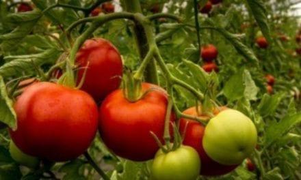 Pas de tomates bio en hiver
