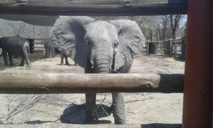 Le commerce des éléphanteaux vivants doit prendre fin !