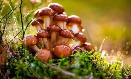 Les champignons vitaux des anti-grippe naturels