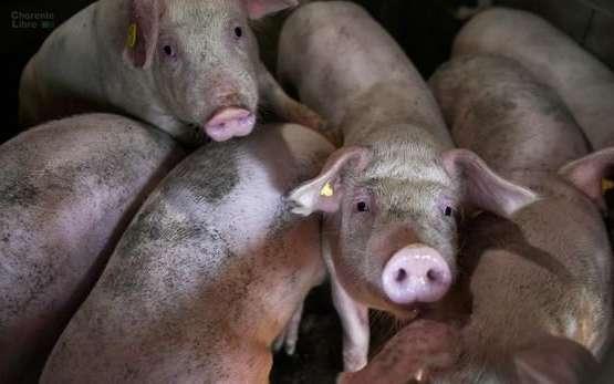 Nouveau virus de la grippe du porc en Chine, attention danger!