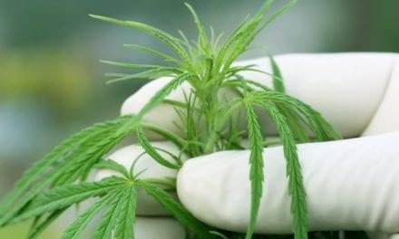 Le secteur du cannabis vainqueur de la bataille contre la crise de Covid-19
