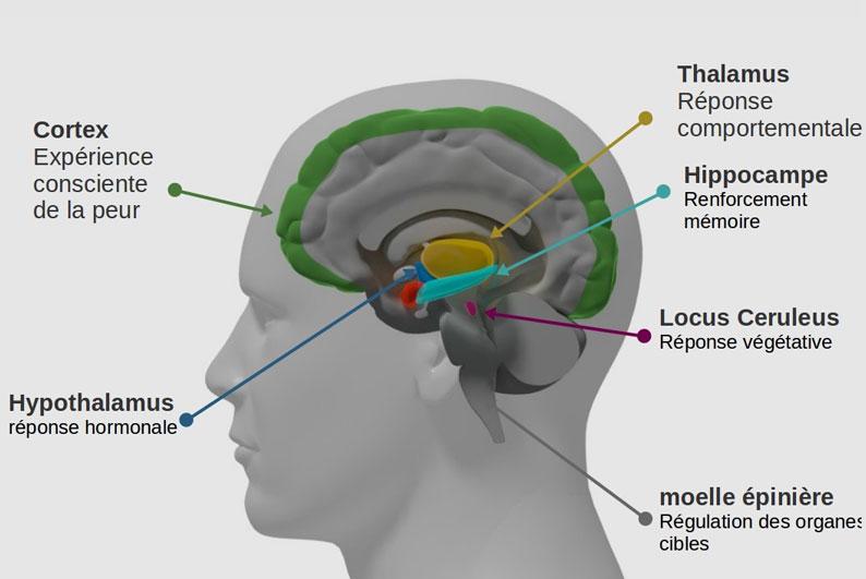 Découverte du mécanisme cérébral impliqué dans la réponse face au danger